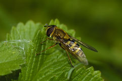 Common Banded Hoverfly Royalty Free Stock Images