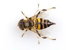 Hoverfly Eristalinus taeniops   obrazy stock