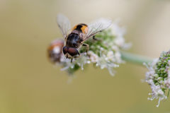 Hoverfly Eristalis bee on wild flower plant macro view. Shallow depth of field, selective focus Royalty Free Stock Photo