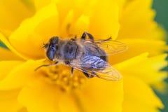 Hoverfly Eristalis en la opinión de la macro de la planta de la maravilla del Calendula Flor amarilla de los pétalos con la mosca Foto de archivo