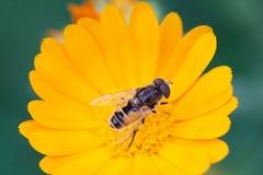 Hoverfly Eristalis en la polinización macra de la opinión de la planta de la maravilla del Calendula Flor amarilla de los pétalos Imagen de archivo libre de regalías