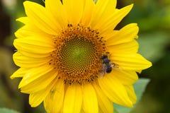 Hoverfly Eristalis na polinização macro da opinião da planta do girassol Flor amarela das pétalas com mosca Profundidade de campo Fotografia de Stock Royalty Free