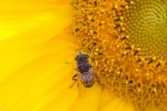 Hoverfly Eristalis på pollination för sikt för solrosväxtmakro Gul kronbladblomma med flugan grunt djupfält arkivbild