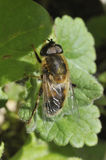 Hoverfly - Eristalis pertinax Royalty Free Stock Images