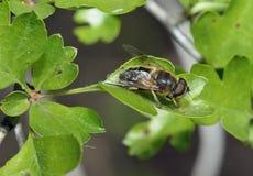 Hoverfly - Eristalis pertinax Royalty Free Stock Photo