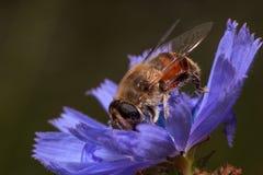 Hoverfly está escogiendo el polen de la flor de la achicoria Foto de archivo