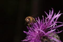 Hoverfly está escogiendo el polen de la flor de la bardana Imagen de archivo