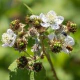 Hoverfly (Eupeodes corolae) Royalty Free Stock Photography