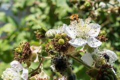 Hoverfly (Eupeodes corolae) Royalty Free Stock Photo