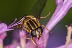 Hoverfly, Eupeodes Luniger Royalty-vrije Stock Afbeeldingen