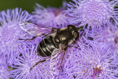 Hoverfly, Eupeodes Luniger Stock Afbeelding