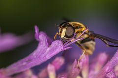 Hoverfly, Eupeodes Luniger Stock Photos