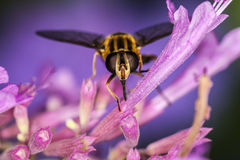Hoverfly, Eupeodes Luniger Royalty Free Stock Images