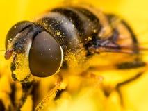 Hoverfly extrahiert Blütenstaub von der gelben Blume stockfoto