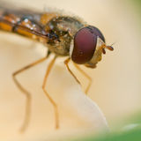 Hoverfly Eye Royalty Free Stock Photography