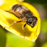Hoverfly Facet zdjęcia stock