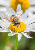 Hoverfly Feeding Royalty Free Stock Photo