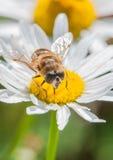 Hoverfly Feeding. A hoverfly sits atop an ox eye daisy royalty free stock photo