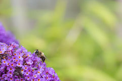 Hoverfly feeding on Buddleia flower. Copy space. Stock Photos
