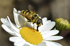 Hoverfly feeding on daisy flower Royalty Free Stock Image