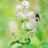 Hoverfly feeding on flower. Hoverfly feeding on pale pink flowers in the garden Royalty Free Stock Photography