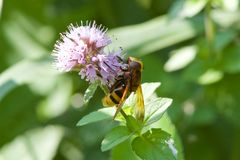 A Hoverfly feeding on a flower stock photo