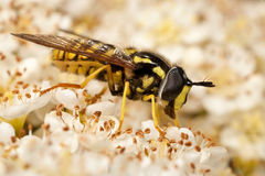 Hoverfly Feeding on Flowers Royalty Free Stock Images