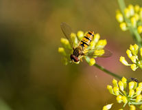 Hoverfly on Fennel Royalty Free Stock Photos