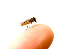 Hoverfly on a finger Royalty Free Stock Photo