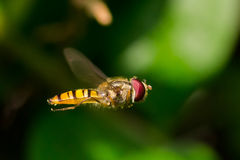 Hoverfly. A hoverfly in flight / fly Stock Photography