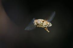 Hoverfly in flight Stock Photos