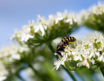 Hoverfly on a flower Stock Image