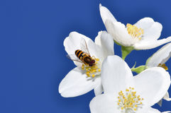 Hoverfly on flower. Syrphidae (Hoverfly) on a jasmine flower Royalty Free Stock Photo