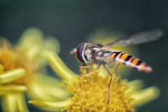 Hoverfly on a flower. Stock Photography