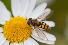 Hoverfly on a flower. Stock Photos