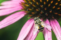 Hoverfly, flower fly, syrphid fly. Eupeodes luniger collects nectar from the pink flower. Mimicry of wasps and bees. Macro photo. Natural background Stock Photos