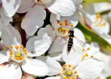 Hoverfly,flower fly or syrphid fly. Hoverfly on a white-flowered flower, Choisya ternata stock image