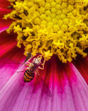 Hoverfly on a flower getting some nectar. Hoverfly on a flower with purple petals and a yellow center. The hoverfly looks similar to a bee royalty free stock photography