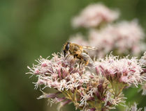 Hoverfly on flower head Stock Photography