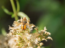 Hoverfly on flower head Royalty Free Stock Images