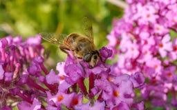 A Hoverfly feeding on a purple Buddleja flower Royalty Free Stock Photo