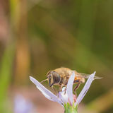 Hoverfly on a Flower Royalty Free Stock Image