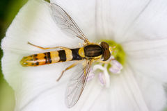 Hoverfly on a flower Royalty Free Stock Photos