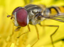 Hoverfly on flower. A hoverfly pollinating a yellow flower Stock Photography