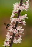Hoverfly on flower stem Royalty Free Stock Image