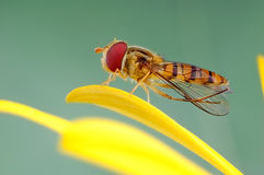 hoverfly on flowers Royalty Free Stock Photography