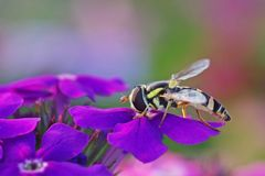 Hoverfly on the flowers Royalty Free Stock Photography