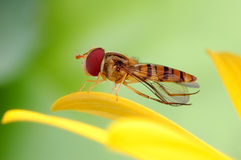 Hoverfly on flowers. Leisurely giving her wings Stock Images