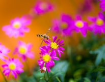 Hoverfly flying to a magenta daisy flower Stock Images