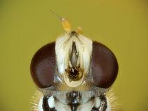 Hoverfly fontal close up Royalty Free Stock Photos